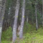 дървета сеч юлен пирин