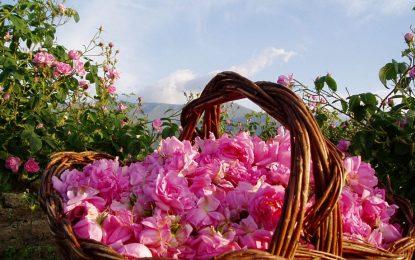 Една българска роза от #КOЙ