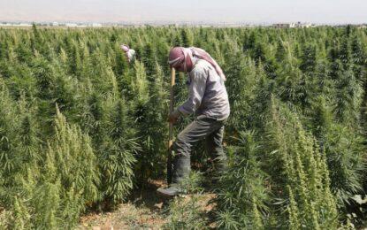 Сирийски жътвари в марихуановите поля на Ливан