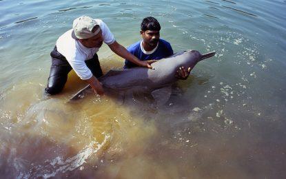 Все още има живи делфини в Ганг