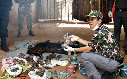 В Тигровия храм в Тайланд откриха 40 тигърчета във фризер