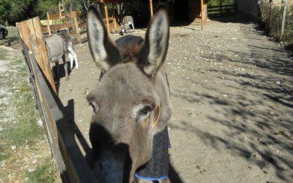 България вече има и старчески дом за магарета