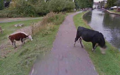 Google пази личния живот дори на кравите