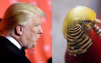Китай полудя по фазан с прическата на Тръмп