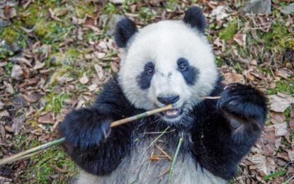 Пандите харесват това