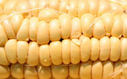 Брюксел отваря вратите за ГМО в Европа