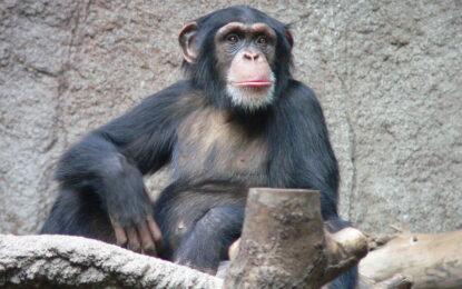 А вие говорите ли маймунски?