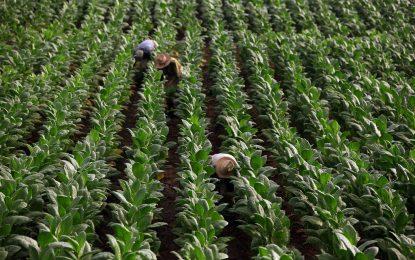 Биогориво от тютюн – алтернатива на керосина