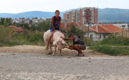 Свинско родео по улиците на Казанлък