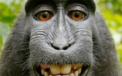 Уикипедия отказа да премахне маймунско селфи