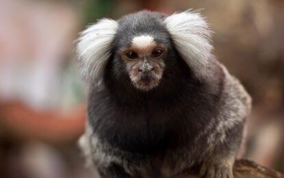 Клипче учи маймуни на сръчност