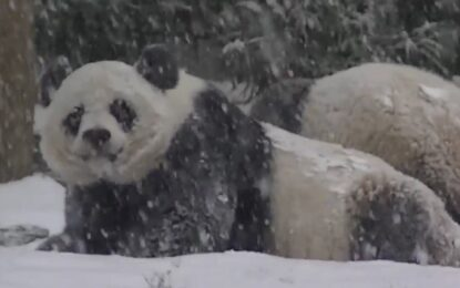 Бебе панда откри зимния спорт