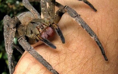Отровата на паяк е новата Viagra