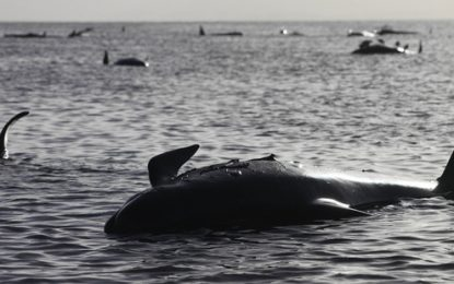 Нова Зеландия се бори за живота на 200 делфина