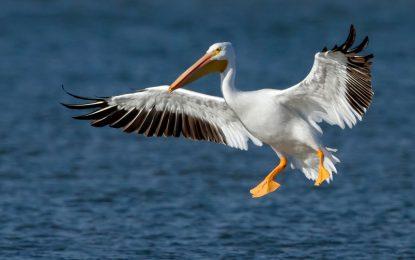 """Птичи грип е убил пеликаните в """"Сребърна"""""""