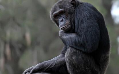 Съд в Ню Йорк даде човешки права на шимпанзета