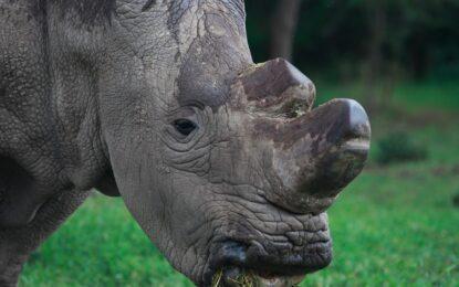 Синтетичен рог от носорог – за целия китайски народ