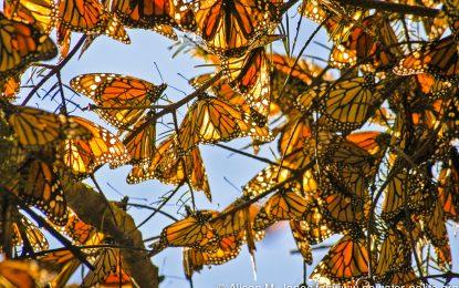 Белият дом прави магистрала за пеперуди