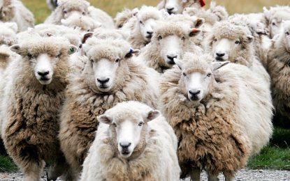 PETA разследва овчар заради псувни към стадото му