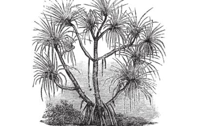 Африканско дърво показва къде се крият диамантите