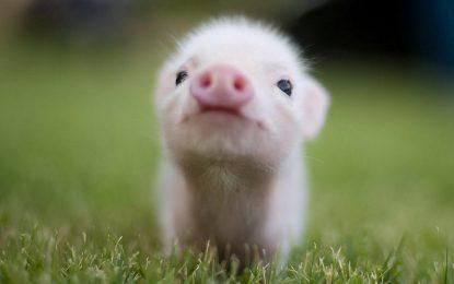 1000 лева глоба за жестокост към прасенца
