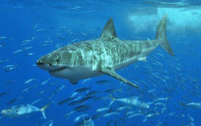 Учени заснеха най-голямата бяла акула