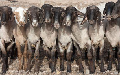 Индия тества онлайн пазара си с продажба на кози
