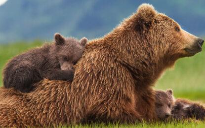 Събери ако, спаси мечка в Норвегия