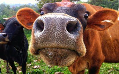 Иде ли ГМО месото в магазините