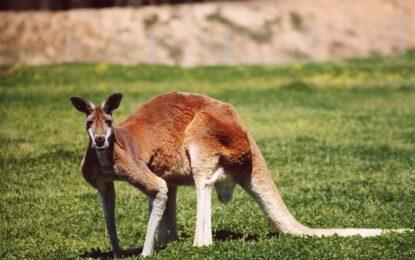 Австралия предотврати атентат с кенгуру