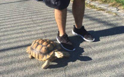 Работа мечта – да разхождаш костенурки