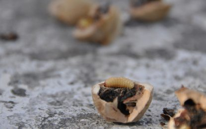 ГМО мухи лекуват рани