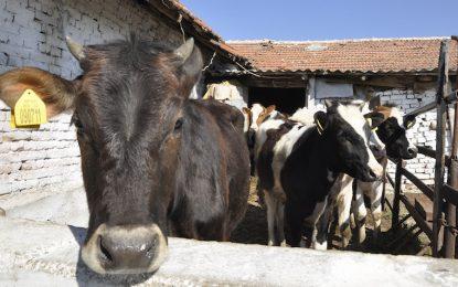 Стадо крави падна жертва на нодуларен дерматит във Врачанско