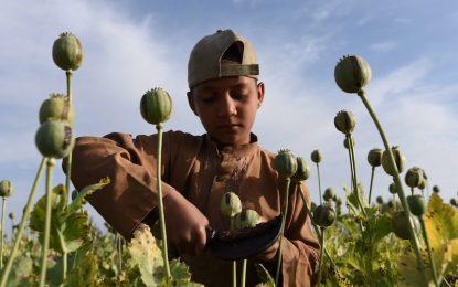 ООН отчете слаба реколта на опиум в Афганистан