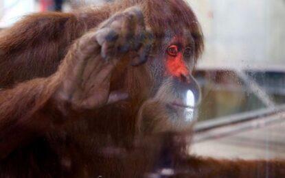 Видео игрите помагат на орангутани да… композират