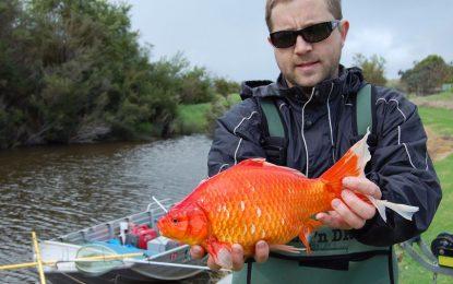 Пускането на златни рибки в реката е глупава идея