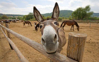 Черна гора продава мляко от магаре по €50 за литър