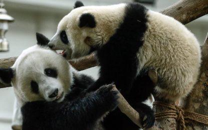 Голямата панда вече не е застрашен вид