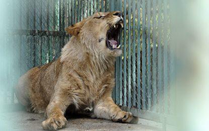 Зоопаркът в Хасково спазари лъв и маймуна за 9 патки