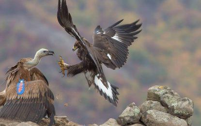Лешояд мери сили със скални орли в Родопите