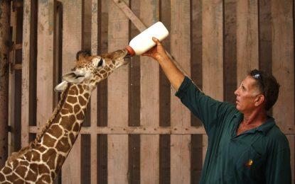 Жирафите са на измиране
