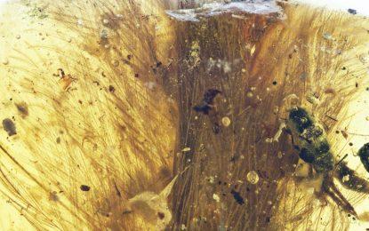 Кехлибар пази опашка на пернат динозавър 99 милиона години
