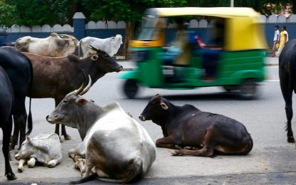 Кравите в Индия получават ЕГН
