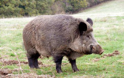 Ловджия убил приятел, взел го за диво прасе